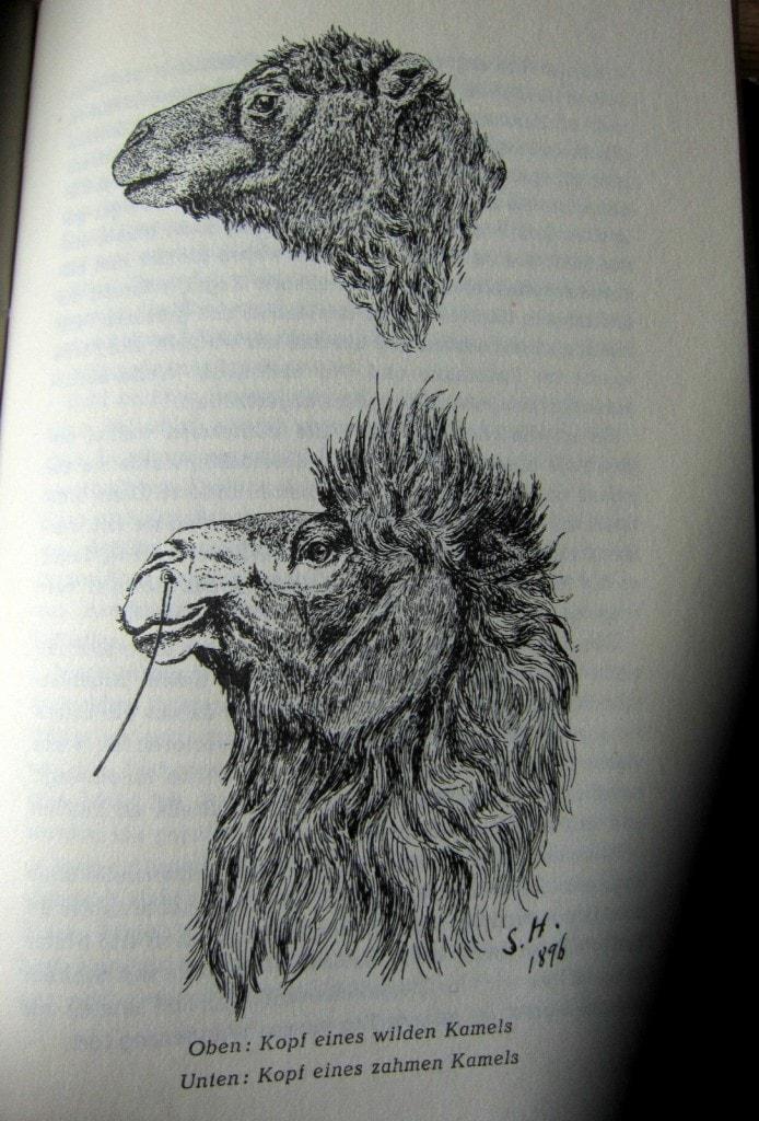 Wildes und zahmes Kamel