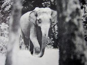 Hati-Hati - Elefant im Wald - featured
