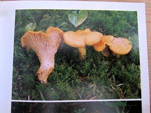 Der große BLV-Pilzführer für unterwewegs - der perfekte Helfer beim Pilze bestimmen
