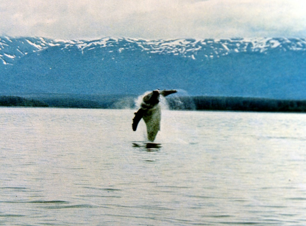 Der Geist in den Wassern - springender Buckelwal