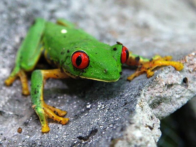 Green Frog on a piece of Maya Ceramic in El Mirador-800x600